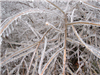 Freezing Rain Covered Branches 4