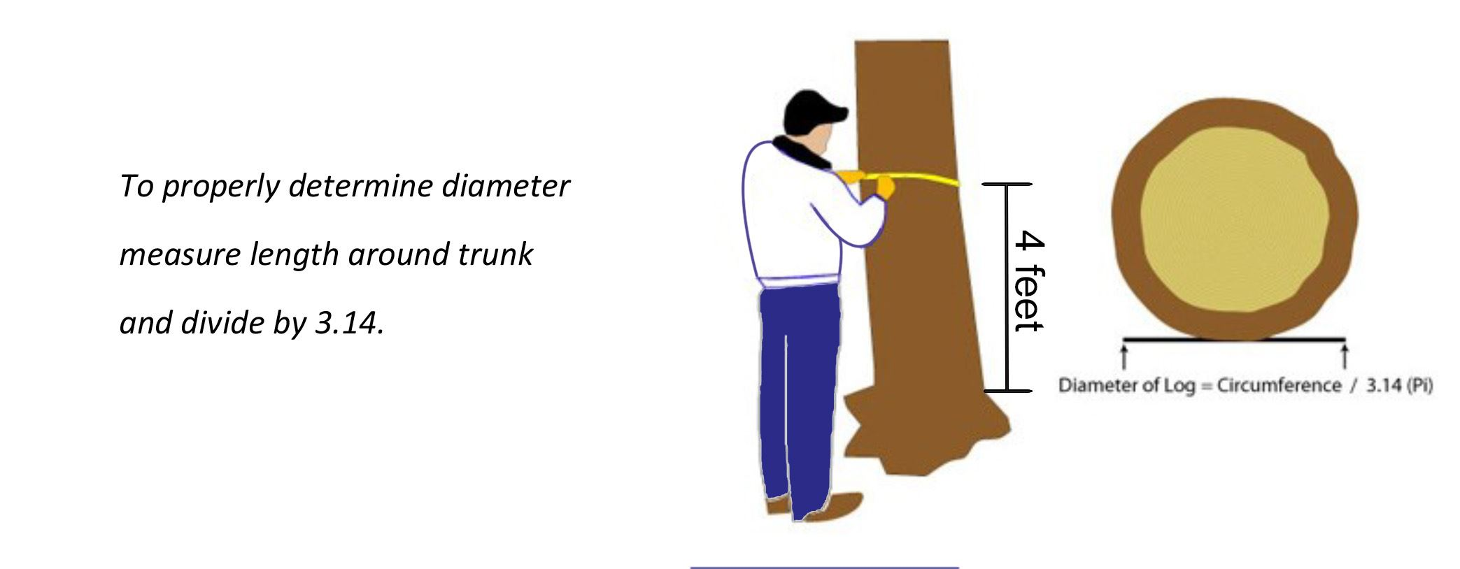 Measuring Tree Trunk Diameter